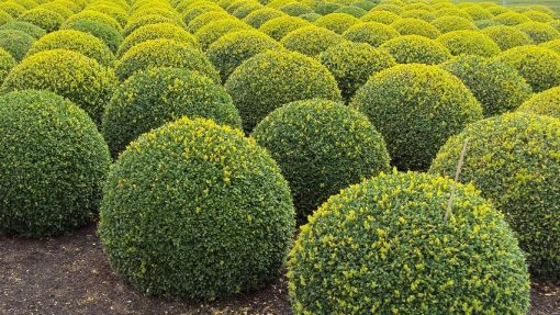 Buxus Sempervirun Rotundifolia - Hedge - Horticulture