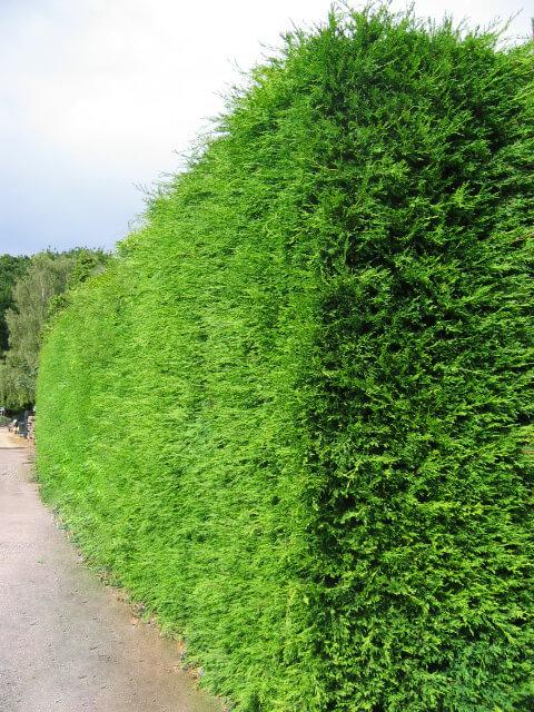Thuja Occidentalis Brabant - conifer - horticulture