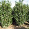Prunus Laurocerasus Reynvaanii