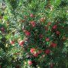 Taxus Media Hicksii - Conifer - hedge - plant - berries