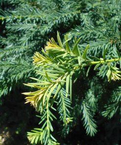 Taxus Baccata Repandens - Conifer