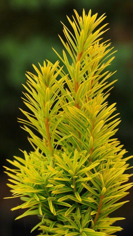 Taxus Baccata Summergold Conifer