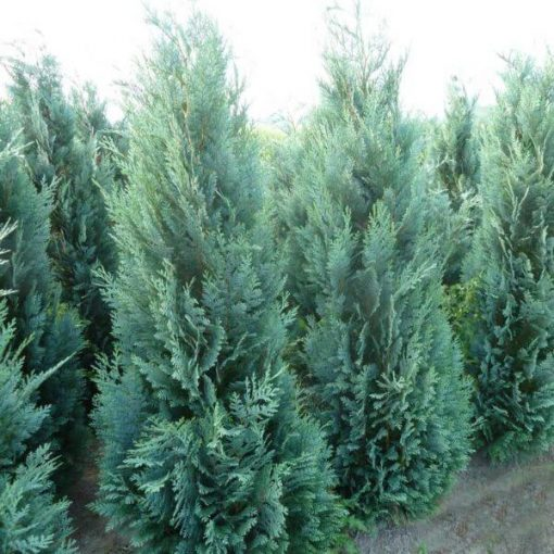 Thuja Occidentalis Columnaris, Conifer
