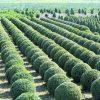 Buxus Green Gem round balls