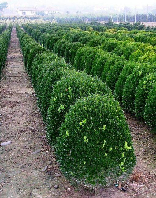 Buxus Sempervirens Suffruticosa - Hedge plant - Horticulture