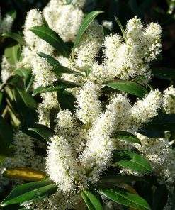 Prunus Laurocerasus Zabeliana