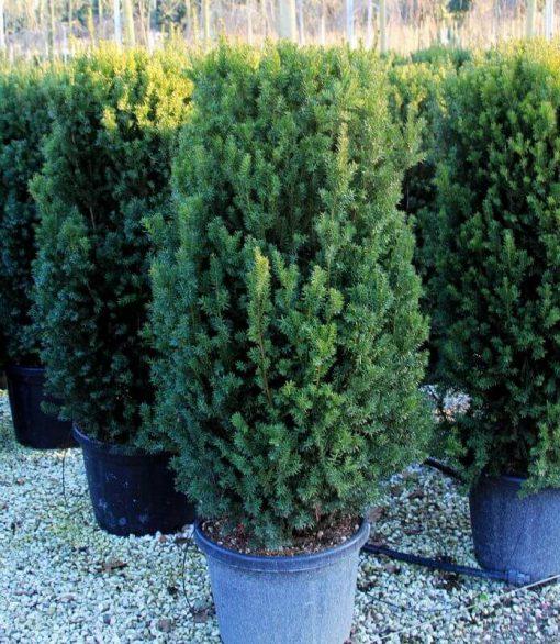 Taxus Media Hillii - Conifer - no berries