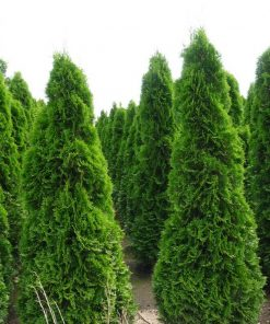 Thuja Occidentalis Smaragd - the tree of life - conifer