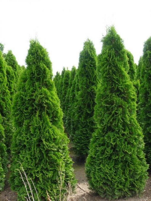 Thuja Occidentalis Smaragd - the tree of life - conifer